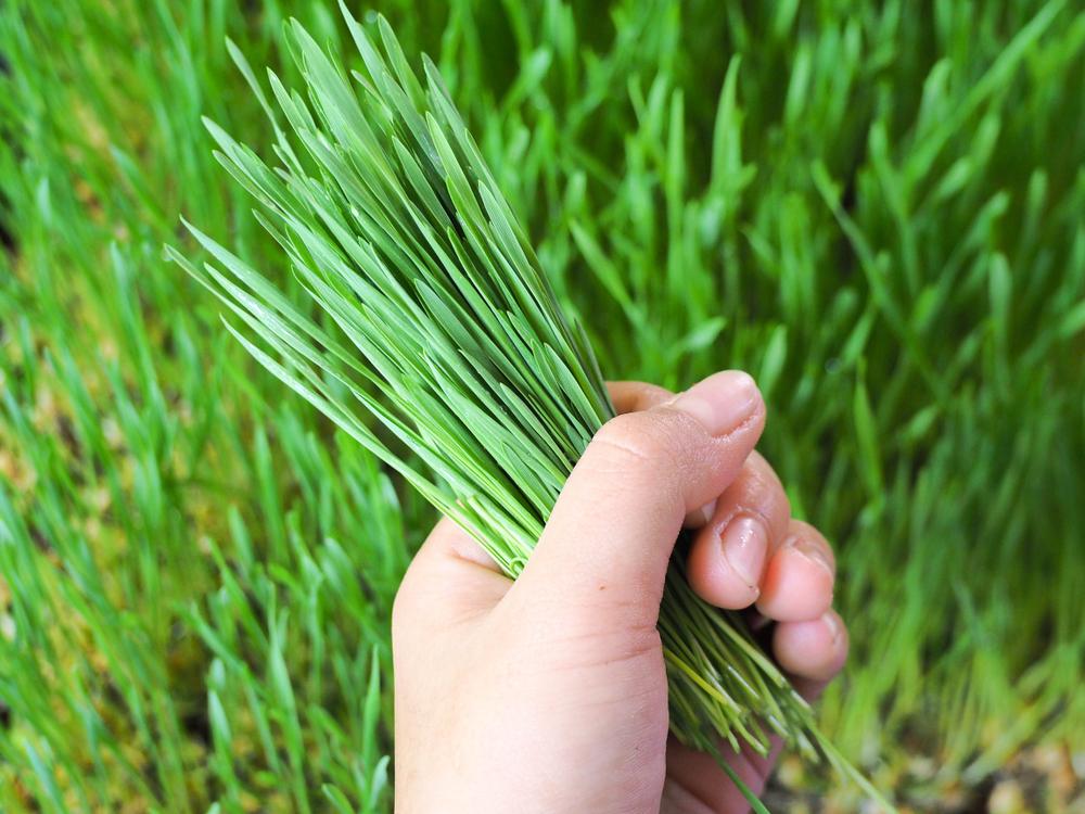 Growing organic wheatgrass,grow your own organic wheatgrass,growing wheatgrass at home,how to grow wheatgrass at home.