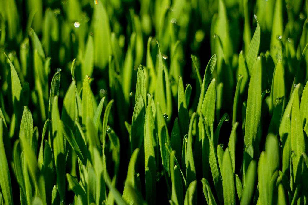 fresh organic wheatgrass,fresh organic wheatgrass juice,organic wheatgrass,wheatgrass,