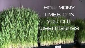 how many times can I cut my wheatgrass,how many times can you harvest wheatgrass,wheatgrass harvesting,wheatgrass cutting wheatgrass,when to cut wheatgrass,